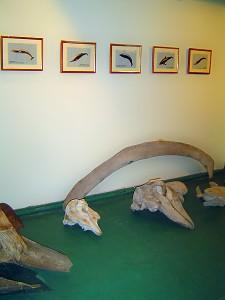 Фрагменты скелетов китов